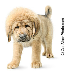 Tibetan mastiff puppy isolated on white