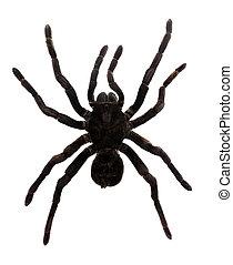 Tarantula Spider - Tarantula Spider (Pamphobeteus antinous)....