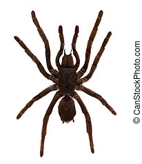Tarantula Spider. Isolated over white - Tarantula Spider...