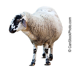 Sheep Isolated over white - Farm sheep Isolated over white...