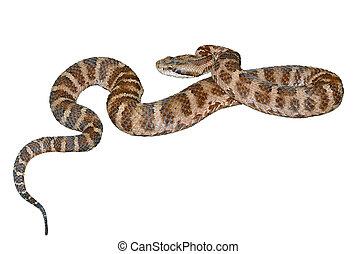 13,  saxatilis), serpiente,  (agkistrodon