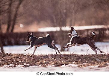 basenji dogs run