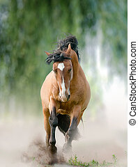 bay stallion in dust