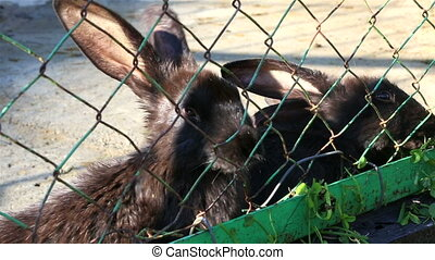 Black rabbits eating grass in an enclosure
