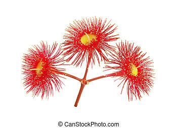 Eucalyptus red flowers