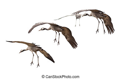 Cranes going down for landing - Group of cranes (Grus grus)...