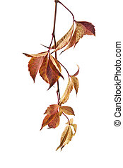 autumn leaves of vine on a white background