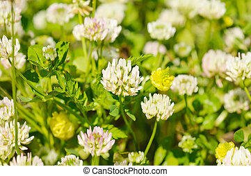 White clower flowers - White clover flowers in spring,...