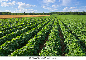 Potatoes and Wheat Field - Vast Farm Field Growing Potatoes...