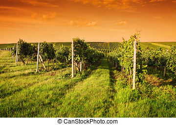 Evening view of the vineyards in Moravia