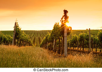 Evening view of the vineyards at sunset