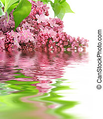 lilac flowers and reflection over white