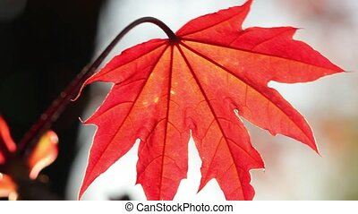 Red leave