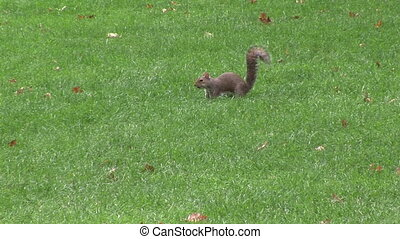 Squirrel in a Park - Squirrel gathering nuts on an Autumns...
