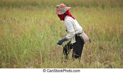 Farmer harvesting rice field - Burmese woman farmer...