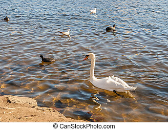 Wild birds on the lake in a bright sunny day