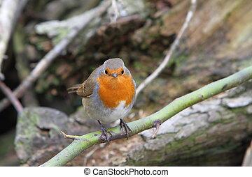 European robin Enthacus rubecula