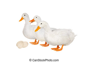 duck - two white duck and egg on white a background