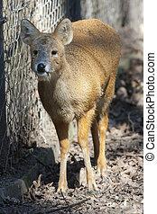 Water deer - Chinese water deer (Hydropotes inermis inermis)