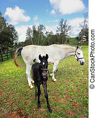 Thoroughbred white horse with the colt