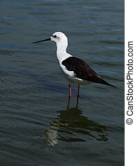 Himantopus - Water bird .The Black-winged Stilt or Common...
