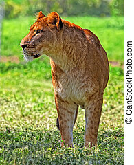 Lioness on a grass