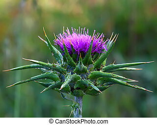 Purple thistle in nature