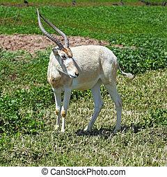 Horned Oryx in zoo