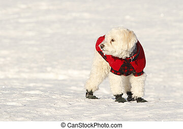 Cockapoo in Coat and Boots - White Cockapoo Wearing Red Coat...