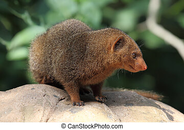 dwarf mongoose Helogale parvula sitting on a rock