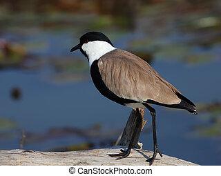 lapwing - beautiful bird standing on a log.Ramat Gan Park,...