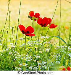Poppy flowers - Blossoming poppy flowers meadow in spring...