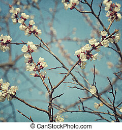 Apricot blossom flowers in spring