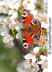Peacock butterfly perching on an apple tree blossoms