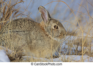 Cottontail in Snow - a cottontail rabbit partially hidden in...