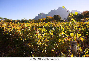 Western Cape Vineyards - Vineyards in the Western Cape,...