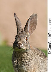 Cottontail Rabbit Portrait - a close up of a cute cottontail...