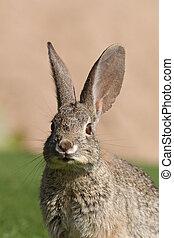 Cottontail Rabbit Portrait - a close up of a cute cottontail...