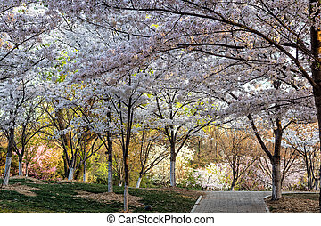 Sakura - Beautiful flowering Japanese cherry - Sakura in...