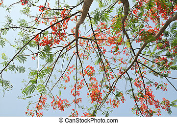 Flowering tree with red flowers in Thailand
