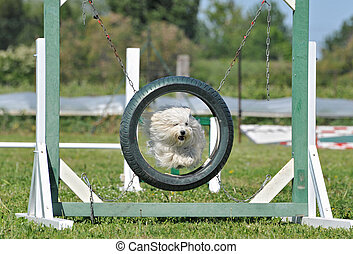 jumping maltese dog - purebred maltese dog in a competition...