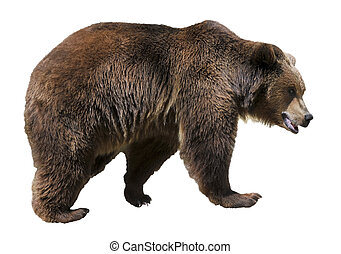 Isolated brown bear - Brown bear (Ursus arctos) view of...