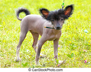 vector dog Chinese Crested Dog breed - dog Chinese Crested...