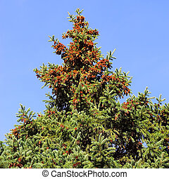Fur-tree  - Branch of a coniferous tree, fur-tree