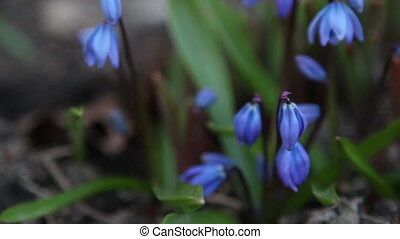 Some blue crocus plant budding - Some pretty blue croucus...