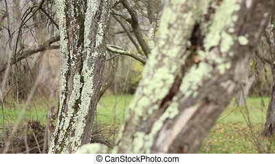 Lichens on Tree Bark - Focus change on trunks of trees on...