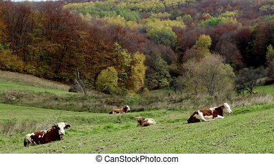 Cows Rest on Pasture - Group of spotted cows resting on the...