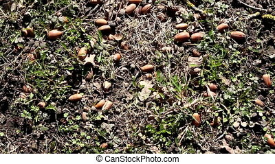 Lots of acorn on the ground