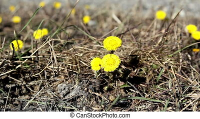 Closer look of coltsfoot plant