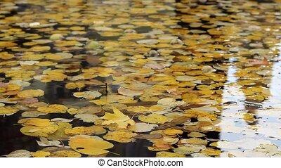 Autumn Foliage Floating - Autumn yellowed leaves floating...